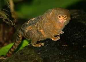 http://www.animalspot.net/wp-content/uploads/2014/09/Pygmy-Marmoset.jpg