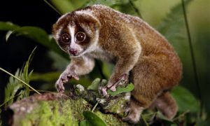 http://www.bellenews.com/wp-content/uploads/2012/12/The-primate-is-a-type-of-slow-loris-a-small-cute-looking-animal-that-is-more-closely-related-to-bushbabies-and-lemurs-than-to-monkeys-or-apes.jpg