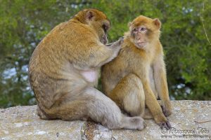 barbary_macaque3