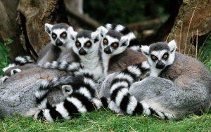 Katta - Gruppe lemur katta ring-tailed lemur