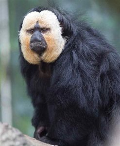 Male http://images.northrup.org/picture/xl/pale-headed-saki/pale-headed-saki-1.jpg
