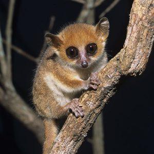 Madame Berthe Mouse Lemur
